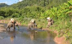 Elephant caravan with 'Elephant Adventures' in Hongsa district. Supported by ElefantAsia