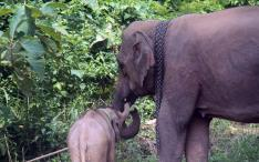 Adoptive mother takes care of young orphan wild male